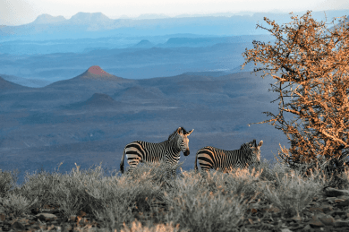 Zebre sulle Etendeka Mountains