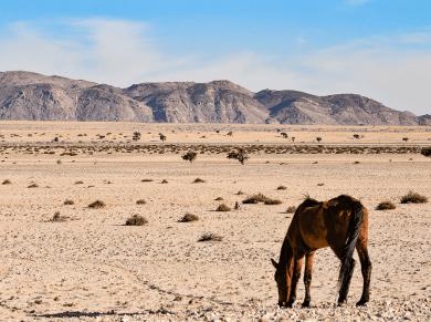 Cavalli del Deserto