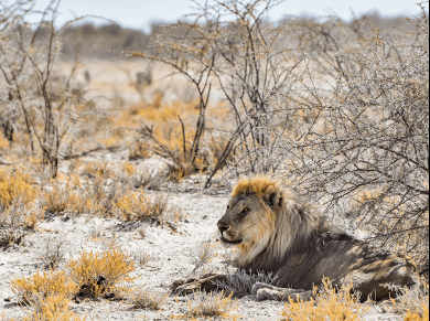 Etosha National Park, Leone si riposa