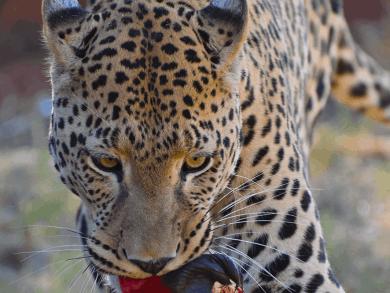 Leopard Tracking ad Okonjima